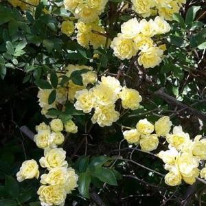 Roselline ad aprile, foto di Irene Balducci